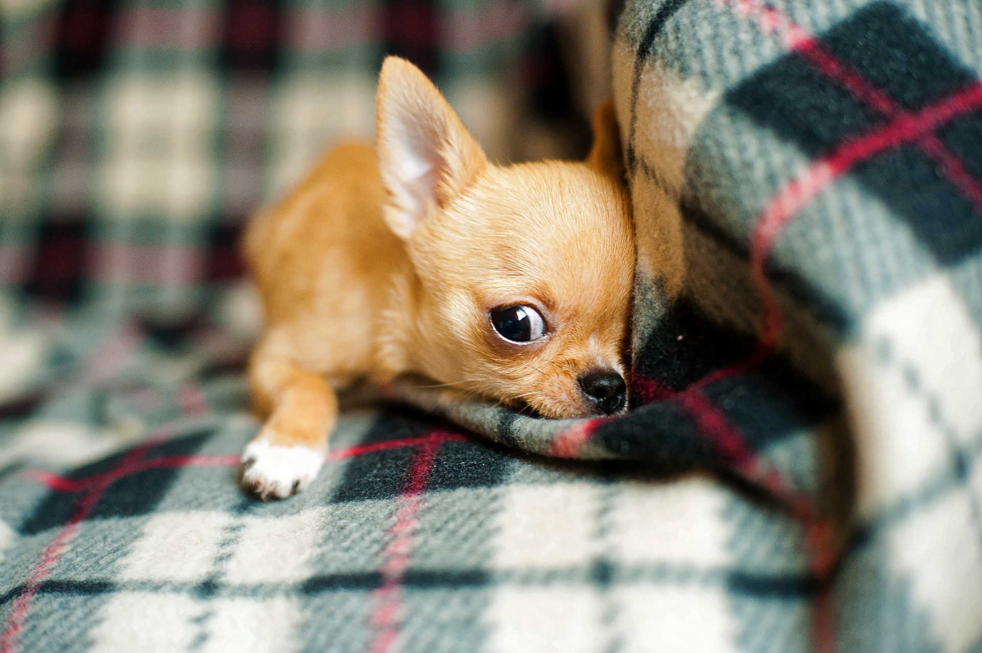 What if My Chihuahua Barks at Nothing