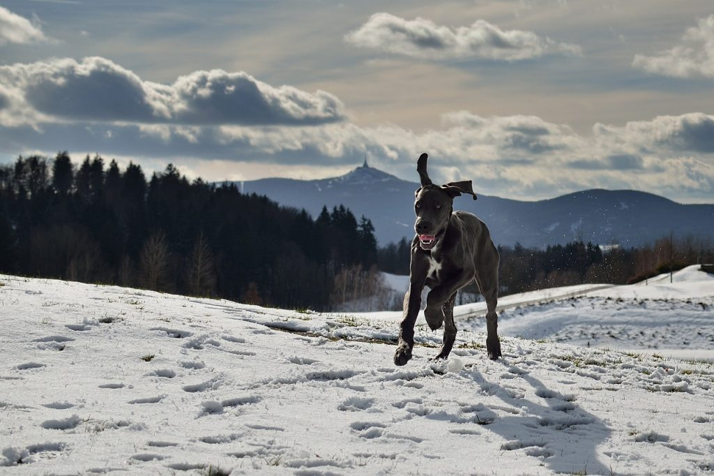 great dane breed at a glance